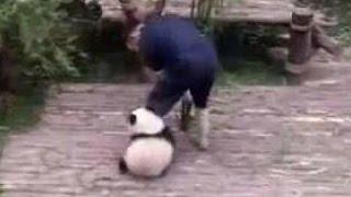 Видео с маленькой пандой покорило интернет