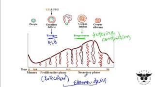 194 - Estrogen, Progesterone, LH, FSH, ovulation, menses, Proliferative and etc. - USMLE STEP 1 ACE