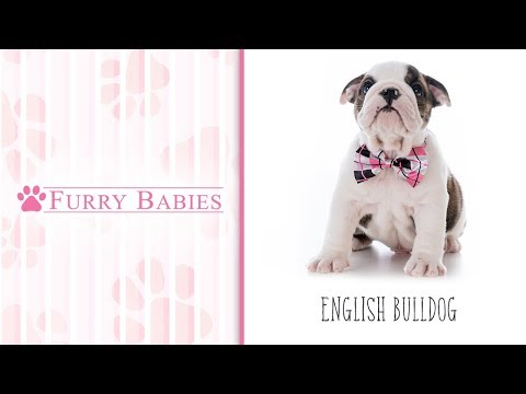 Is the English Bulldog the right breed for you?