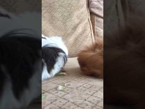 Post traumatic guinea