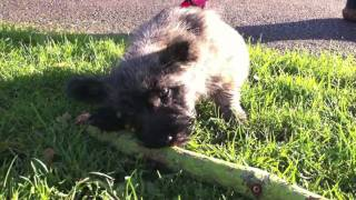 Poppy's Big Adventure - Cairn Terrier Puppy