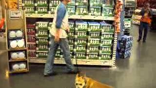 Monty - Handsome English Bulldog / Corgi Mix Training At Home Depot Needs Home