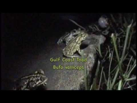 Texas frogs and toads calling at night!