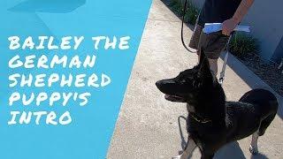 Bailey the German Shepherd Puppy's Intro