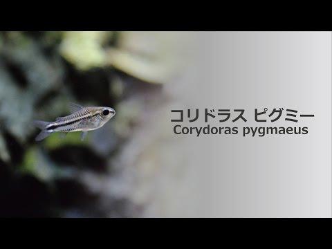 #34.コリドラス・ピグミー 小さくて可愛い熱帯魚 Corydoras