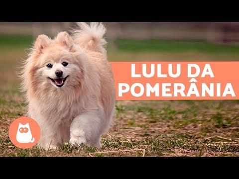 Lulu Da Pomerânia - Características E Cuidados