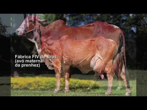 LOTE 5 – PRENHEZ – AMORA JCVL1657 X OSCAR