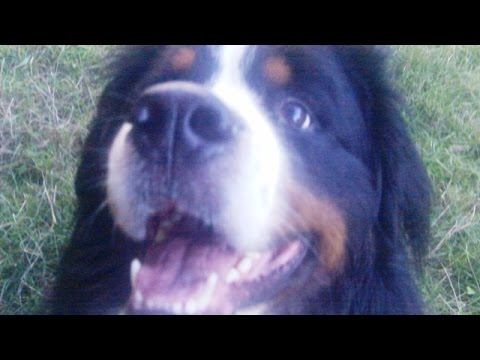 Bernese Mountain Dog Bubbly Buddy.