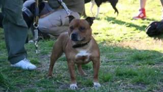 Staffordshire Bull Terrier - Primer Encuentro En Argentina