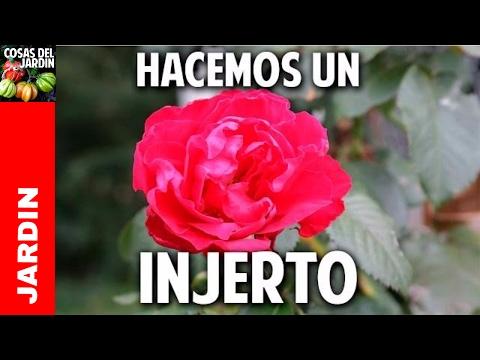 Como injertar Rosales  - Paso a Paso @cosasdeljardin