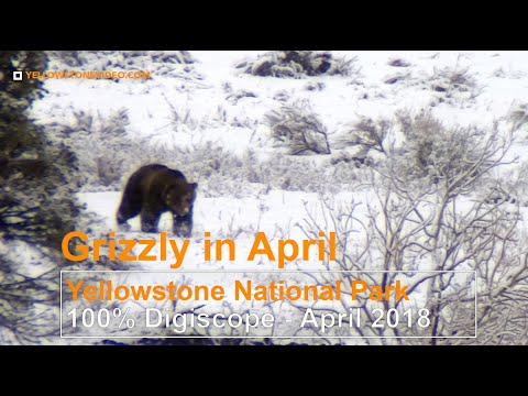 Grizzly Bear Awake in April in Yellowstone National Park