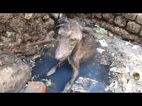 Rescue of heart-broken dog dying alone in sewage