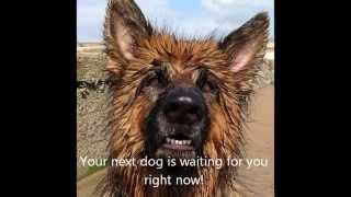 Uk German Shepherd Rescue