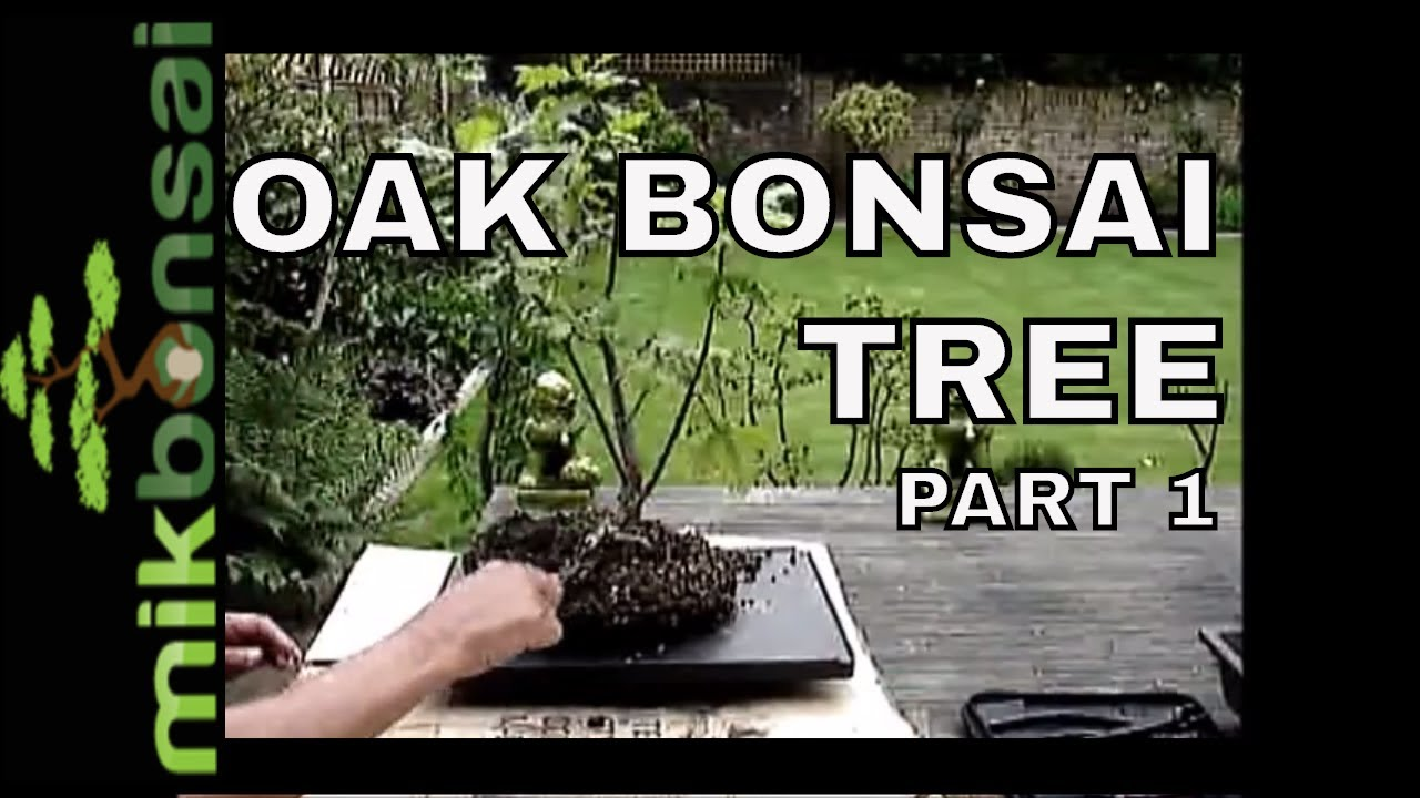 Bonsai Demonstration How To Bonsai Oak Trees Part 1 Nursery Plant To Bonsai Tree Mikbonsai Youtube