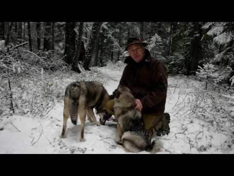 Swedish Elkhound Aina, Norwegian Elkhound Kai