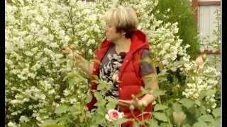 Чубушник (жасмин). Ландшафтные хитрости. Выпуск 105(В данной программе речь пойдет про садовое растение которое светится в темноте и издает невероятный аромат..., 2014-09-01T08:45:15.000Z)