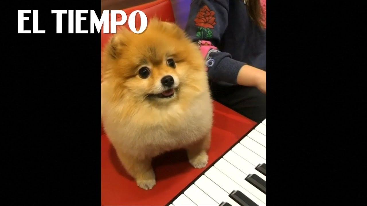 El video del perro  Pomerania es un éxito en línea | EL TIEMPO