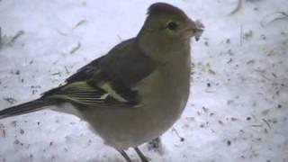 vogels nl... vink