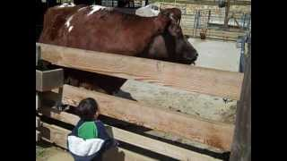 Mesmerized by the cow at Tilden Little Farm