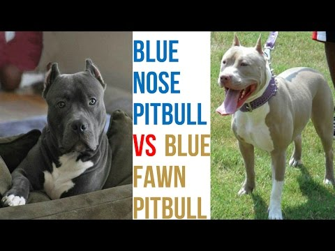 Blue Fawn Pitbull VS Blue Nose Pitbull