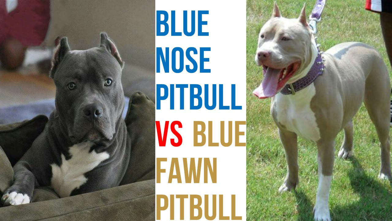 Blue Fawn Pitbull VS Blue Nose Pitbull