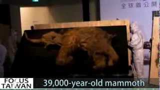 39,000 year old woolly mammoth unboxed in Taiwan