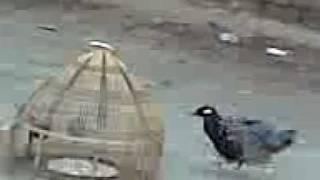 Kala teetar trained (Black francolin) of Sardar Malik Rab Nawaz Uttra, Sab se mota aawaaz