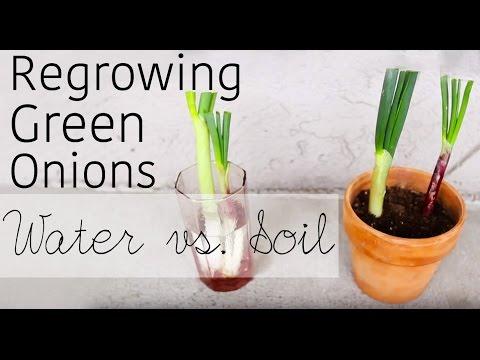How to regrow green onions from scraps | Water vs. Soil | Garden Organizs Garden Tip #1