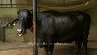 Ganga - The mother of bulls named Yuvraj and Dhoni in Haryana