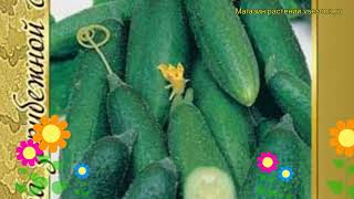 Огурец гибридный Либелле f1. Краткий обзор, описание характеристик, где купить семена Libelle f1