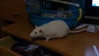 Прикол! Крыса Анфиса делает уборку(Крыса Анфиса делает уборку на своей территории. Бумагу - в дом!, 2015-03-05T13:23:14.000Z)