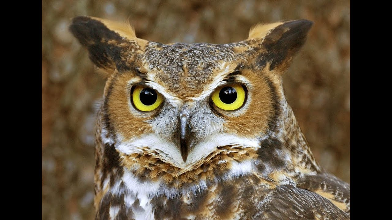 Maryland Great Horned Owls Hooting 10 21 17 Mt Airy Md
