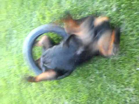cane pazzo