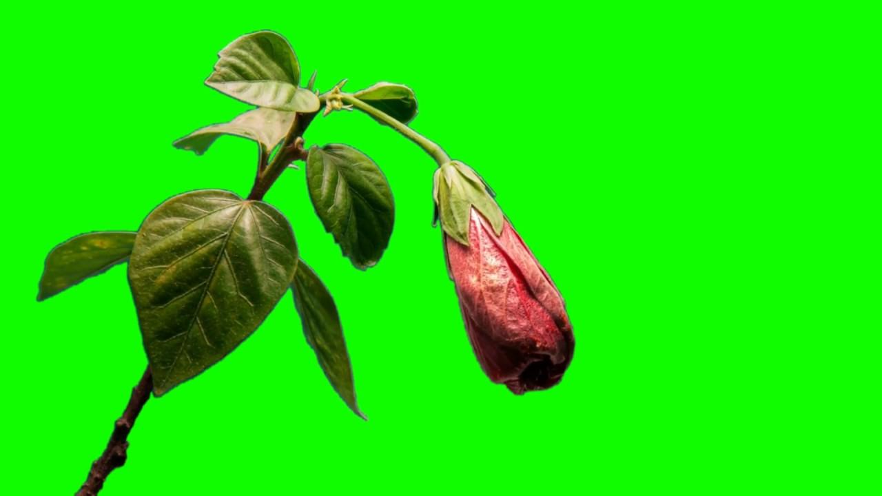 free hd green screen opening flower youtube