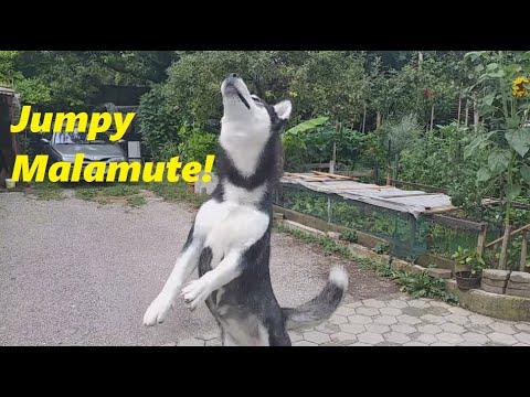 The bouncy ball makes Alaskan Malamute a bit jumpy