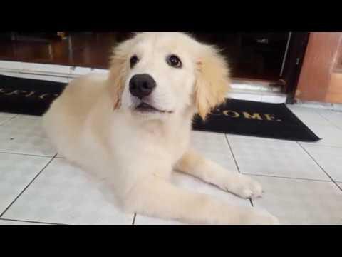 Goldden retriever อายุ 3 เดือน