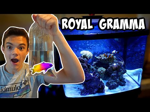 MY NEW *ROYAL GRAMMA* For SALTWATER AQUARIUM