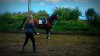 leonardo 16.2 anglo arabian gelding from poland Thumbnail