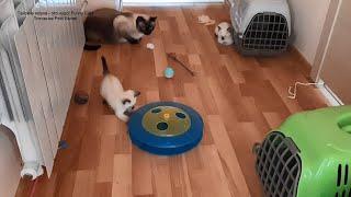 Котёнок Омер играет а Осман и их прадед Оскар наблюдают Тайские кошки это чудо Funny Cats