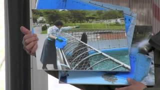 円山動物園のトド、ラーズ(メス/14歳)。 繁殖のため、アクアマリンふく...