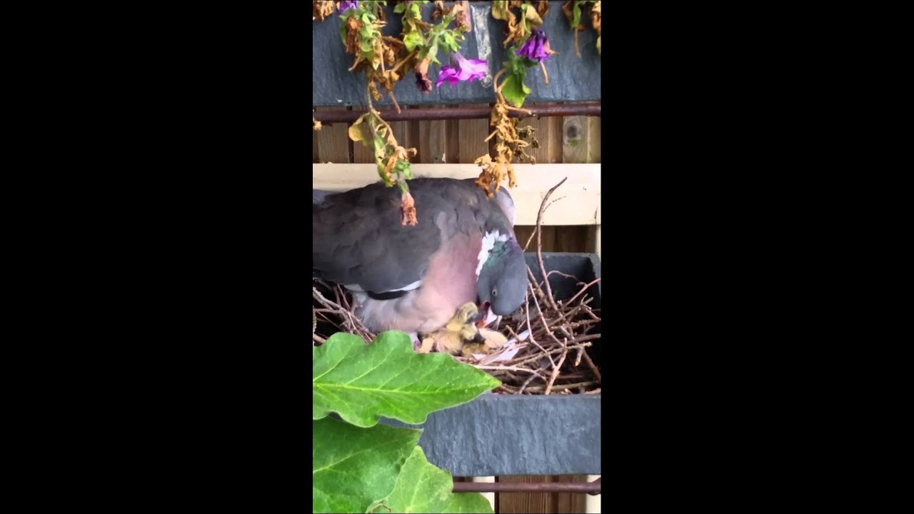 Duivennest in bloembak op balkon youtube for Balkon bloembak