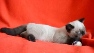 Элитный чистокровный шотландский котенок редкого окраса.