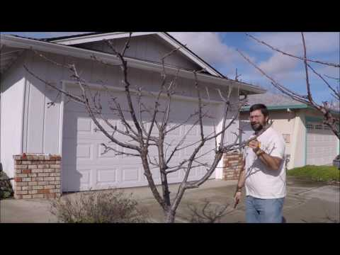 Pruning mature and young sweet cherry trees