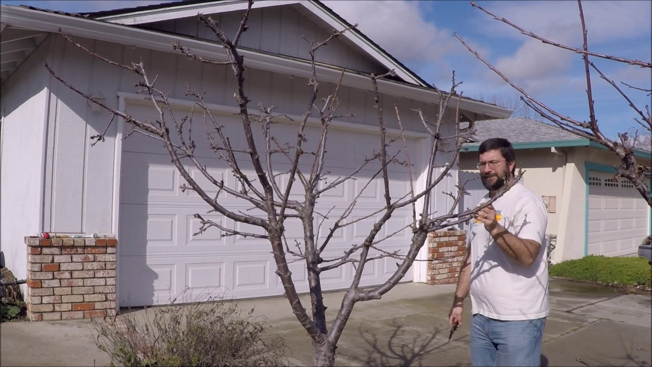 Pruning Mature And Young Sweet Cherry Trees - Youtube-1192