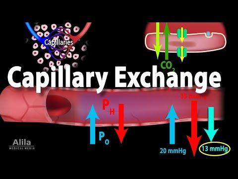 Capillary Exchange and Edema, Animation