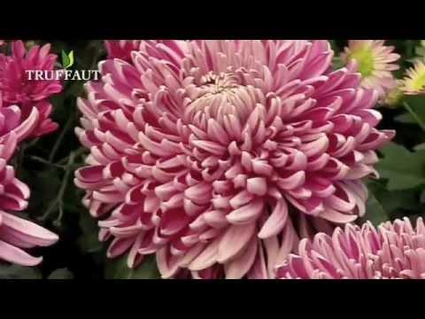 Entretien du Chrysanthème - Jardinerie Truffaut TV