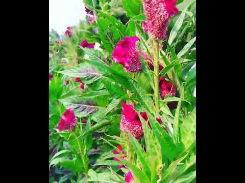Bunga Celosia Bunga Jengger Ayam Memang Menawan Urban Garden
