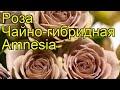Роза чайно-гибридная Амнезия (Amnesia). Краткий обзор, описание характеристик, где купить саженцы
