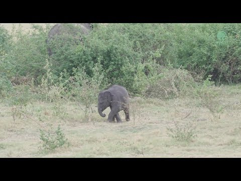 Baby Elephant Plays And Explores the Bush