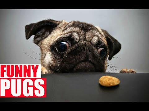 Funny Pugs Compilation  The Funniest & Cutest Pug